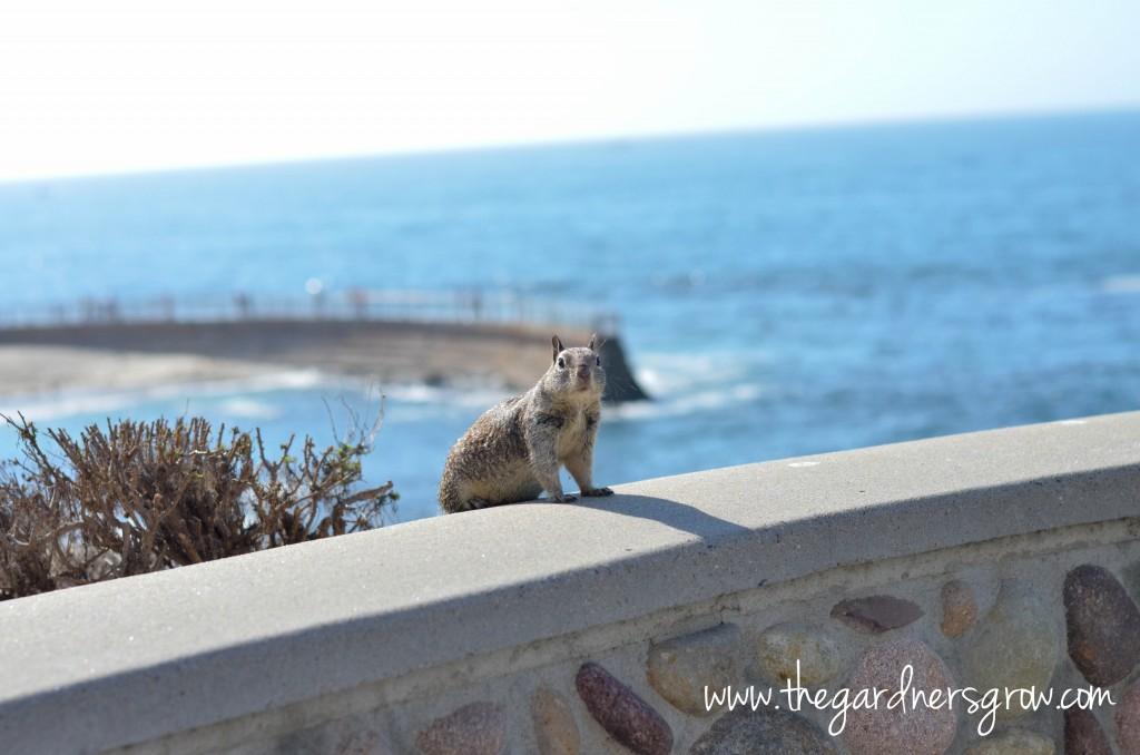 La Jolla Children's Pool Squirrel