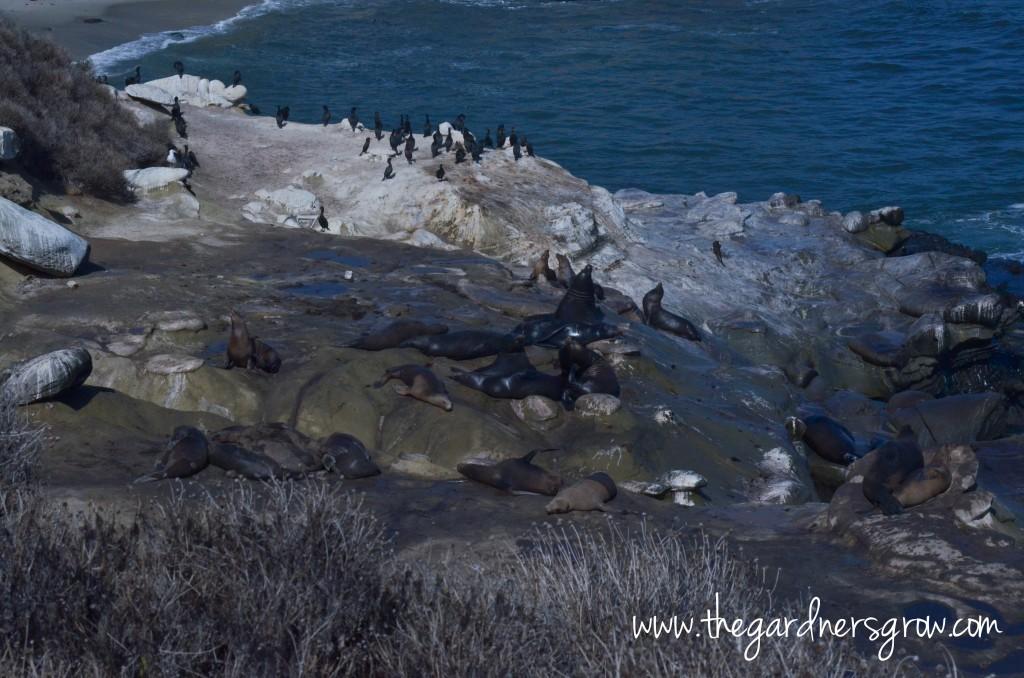 La Jolla Cove and Children's Pool Seals