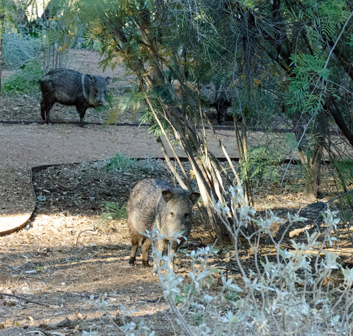 Javelinas at Boyce Thompson Arboretum